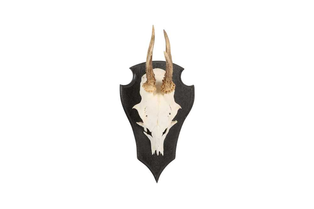 A COLLECTION OF FIVE ROE DEER ANTLERS ON SHIELDS - Image 2 of 6