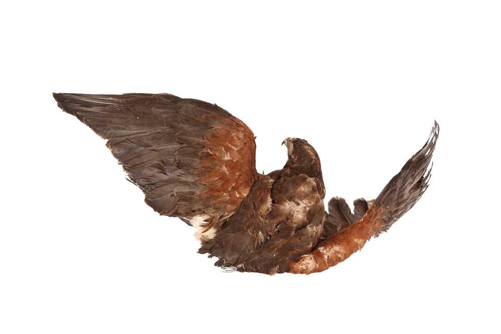 A TAXIDERMY HARRIS HAWK IN FLIGHT, WALL MOUNTED - Image 3 of 4