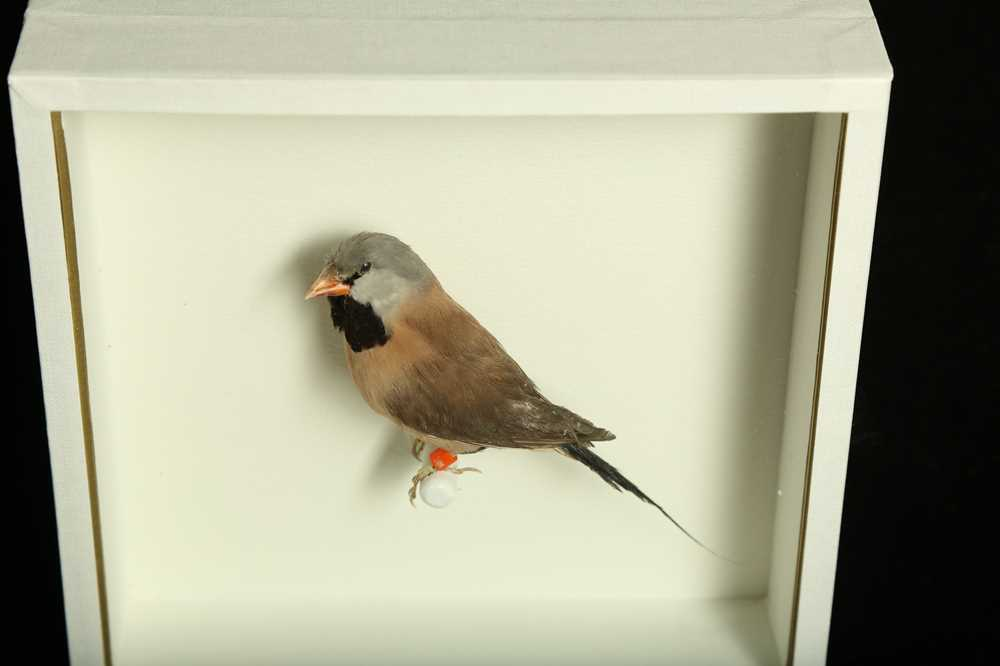 TWO TAXIDERMY TROPICAL FINCHES IN CASES - Image 3 of 4