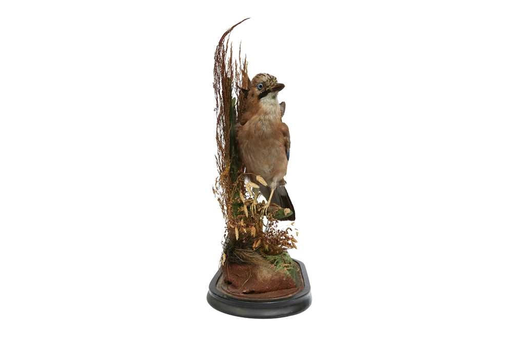 TAXIDERMY: A VICTORIAN JAY AND BULLFINCH IN GLASS DOME - Image 5 of 5
