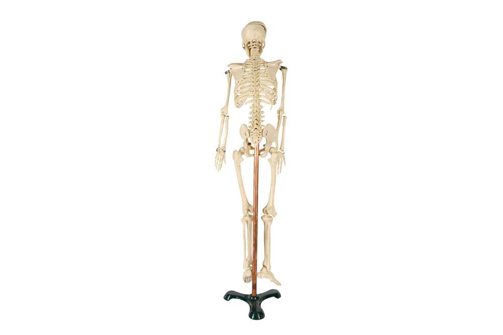 A 20TH CENTURY RESIN TEACHING MODEL OF A HUMAN SKELETON - Image 2 of 2
