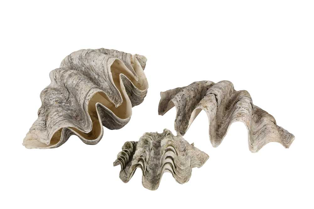 FOUR GIANT CLAM SHELLS (TRIDACNA GIGAS) - Image 2 of 2