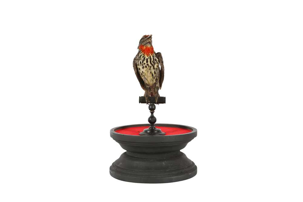A VICTORIAN TAXIDERMY BLACK SPOTTED BARBET