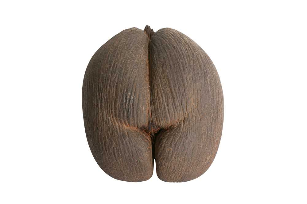 AN EXCEPTIONAL COCO DE MER NUT, IN TACT AND WITH KERNEL COCO DE MER 'THE WORLD'S LARGEST SEED'