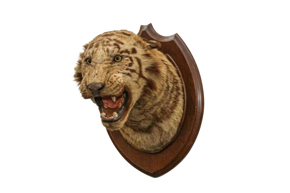 TAXIDERMY: A BENGAL TIGER (PANTHERA TIGRIS) HEAD BY THEOBOLD BROS., INDIA