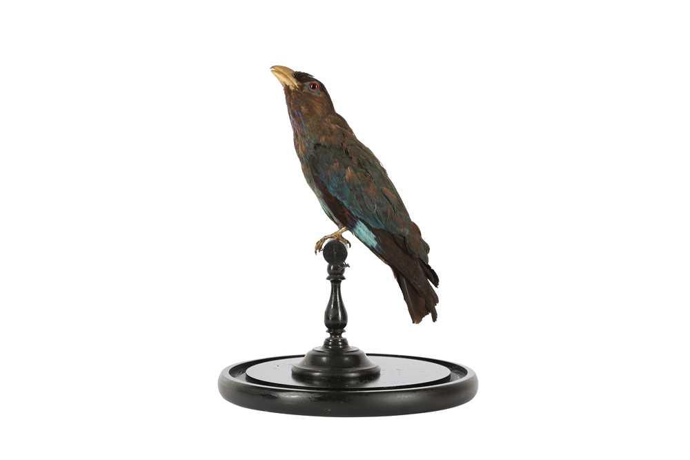 A VICTORIAN TAXIDERMY ORIENTAL DOLLAR BIRD