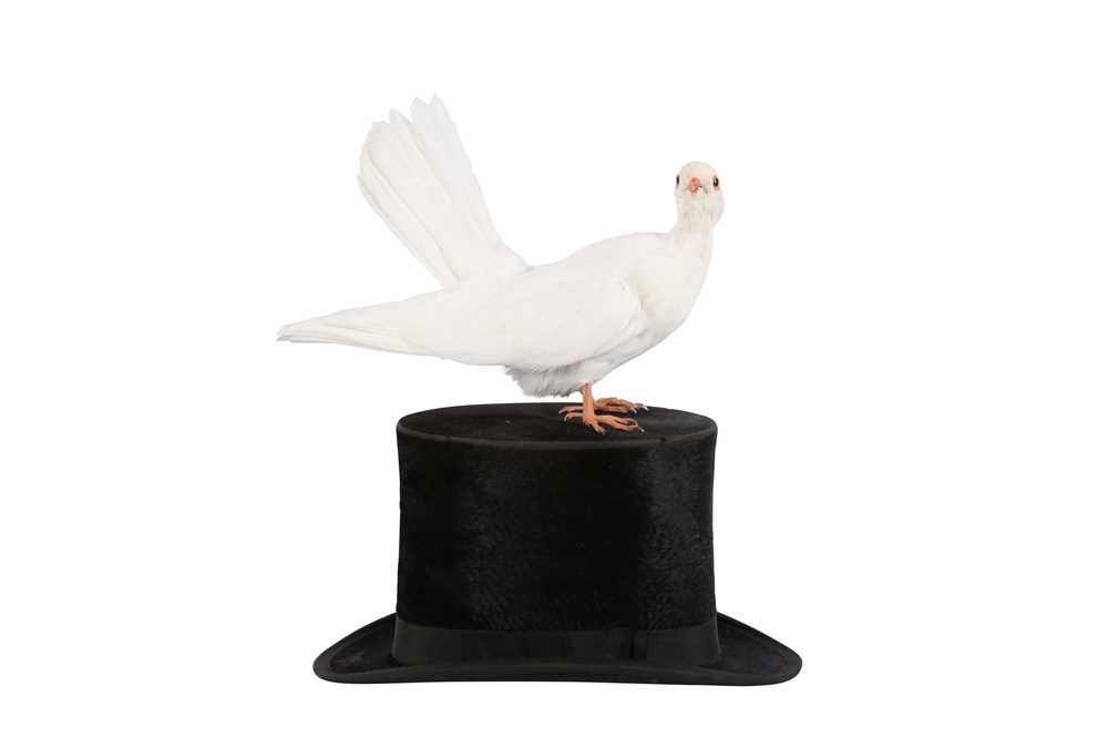 TAXIDERMY:'A MAGICIAN'S ASSISTANT' WHITE DOVE ON TOP HAT