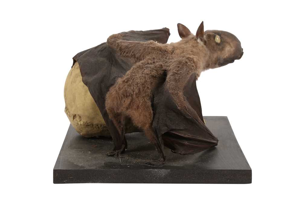 A TAXIDERMY FRUIT BAT MOUNTED BESIDE A MODEL OF A HUMAN SKULL - Image 2 of 4