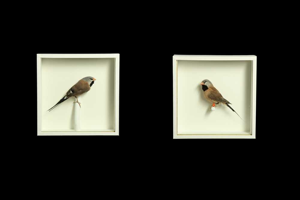 TWO TAXIDERMY TROPICAL FINCHES IN CASES