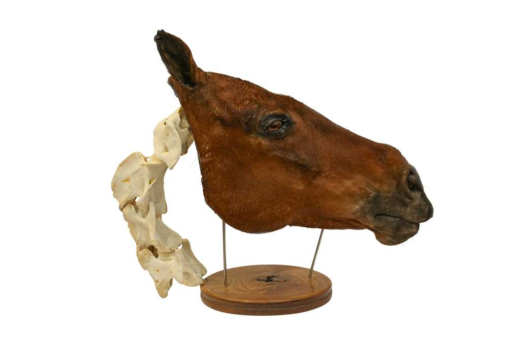 TAXIDERMY: A UNIQUE COMPARATIVE ANATOMY HORSE HEAD