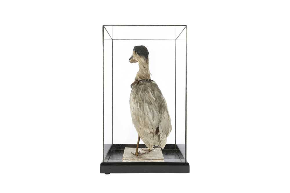 A VICTORIAN TAXIDERMY BOAT BILLED HERON - Image 3 of 4