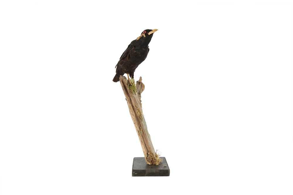 A VICTORIAN TAXIDERMY HILL MYNAH BIRD - Image 4 of 4