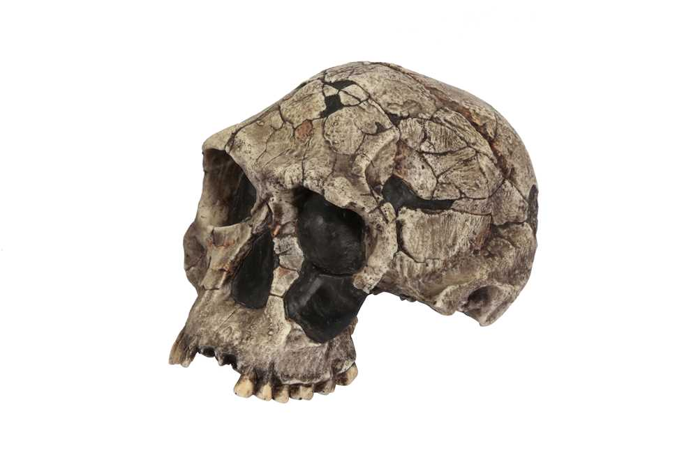 A REPLICA OF THE SKULL OF THE OLDEST HUMAN SPECIES, HOMO HABILIS - Image 4 of 4