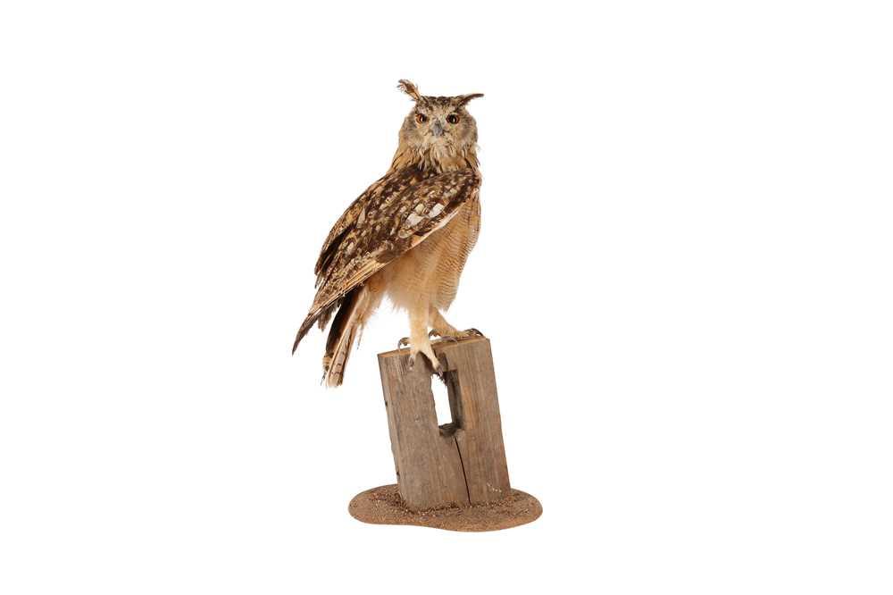 A TAXIDERMY INDIAN EAGLE OWL ON BASE