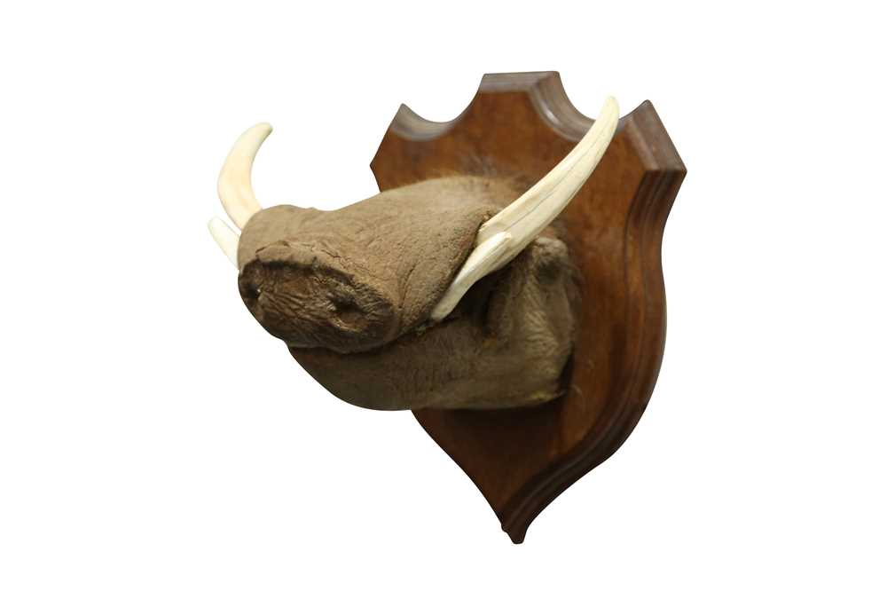 TAXIDERMY: AN UNUSUAL WARTHOG SNOUT WITH TASKS - Image 2 of 4
