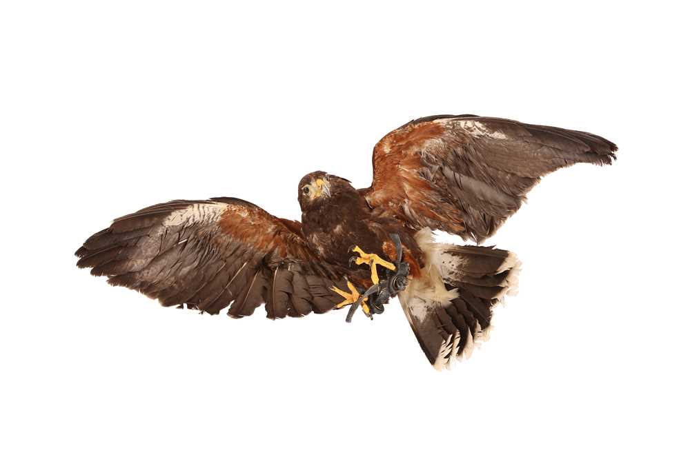 A TAXIDERMY HARRIS HAWK IN FLIGHT, WALL MOUNTED