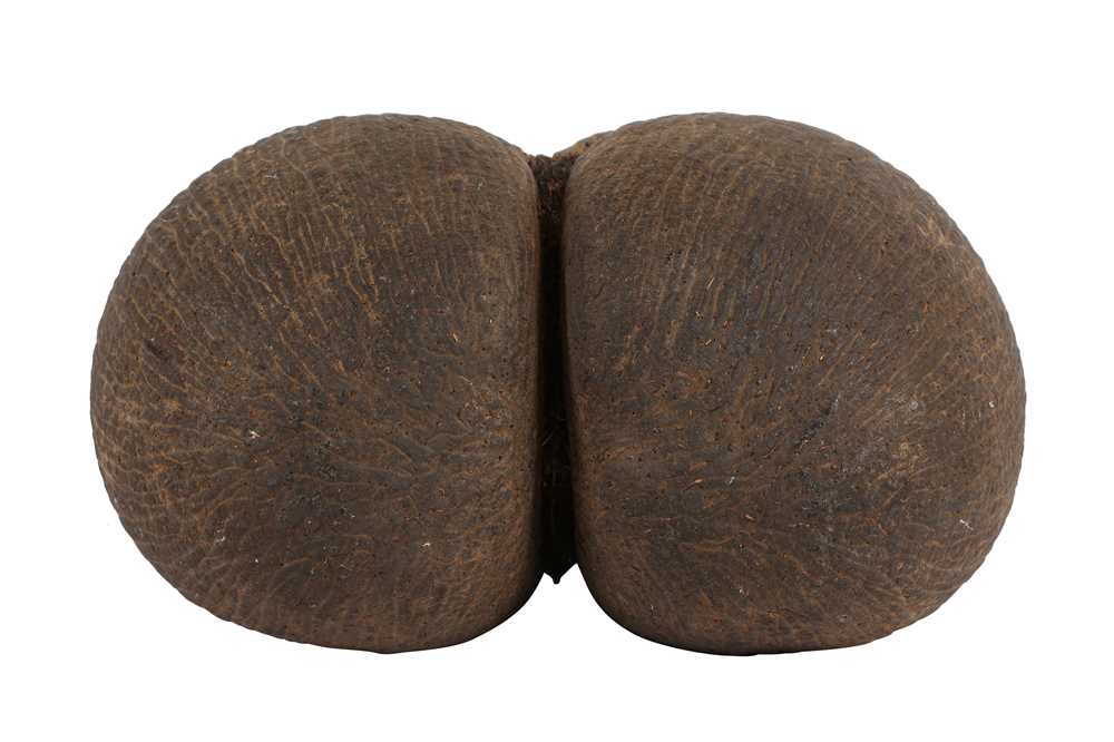 AN EXCEPTIONAL COCO DE MER NUT, IN TACT AND WITH KERNEL COCO DE MER 'THE WORLD'S LARGEST SEED' - Image 4 of 6