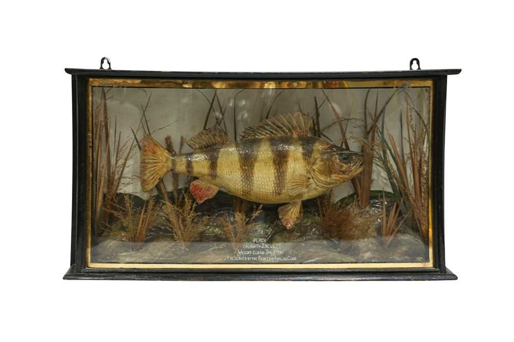 TAXIDERMY: A PERCH IN BOW FRONTED GLASS CASE