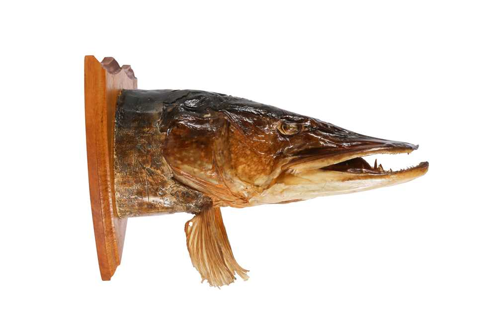 TAXIDERMY: UNUSUAL NORTHERN PIKE (ESOX LUCIUS) TROPHY HEAD ON SHIELD - Image 3 of 3