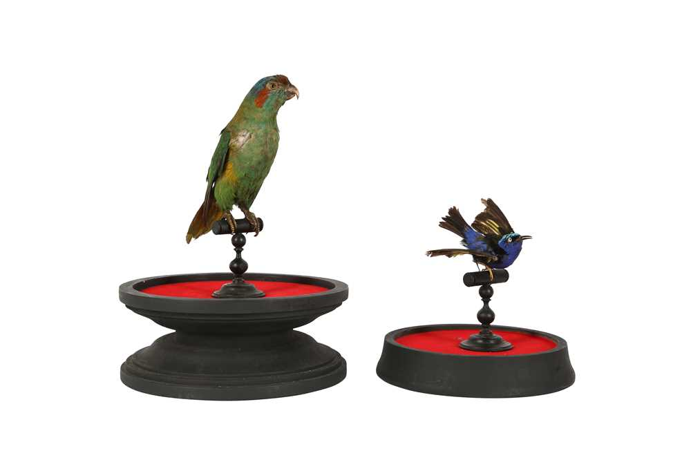 A VICTORIAN TAXIDERMY MUSK LORIKET TOGETHER WITH A RED LEGGED HONEY CREEPER - Image 3 of 5