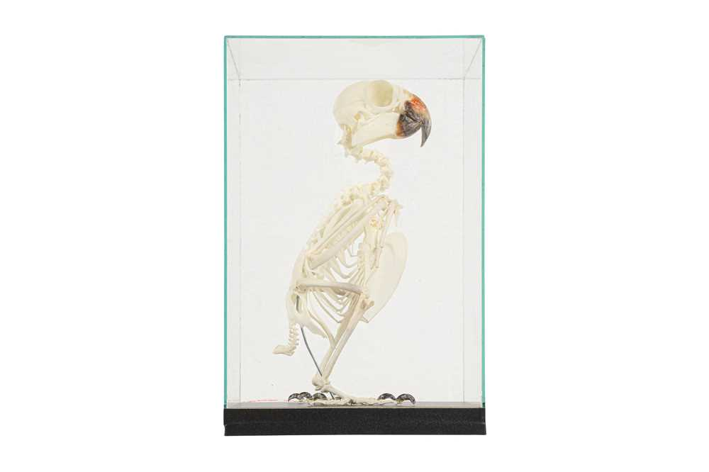 THE SKELETON OF AN AMAZON PARROT IN A GLASS CASE - Image 5 of 5