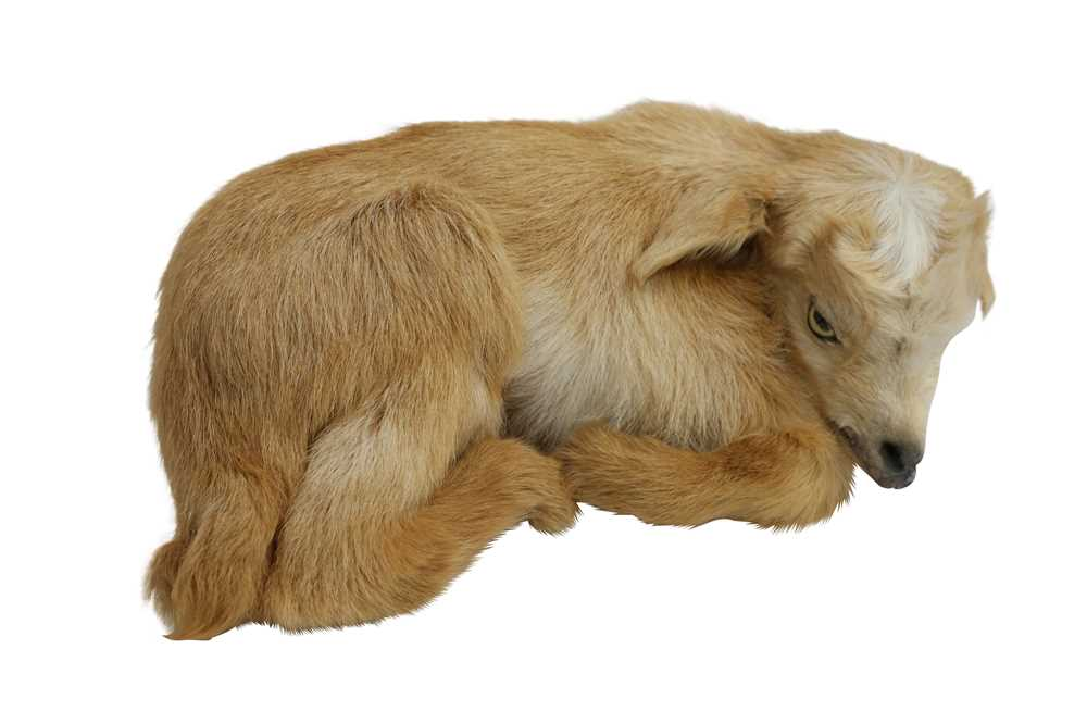 TAXIDERMY: A RECUMBENT KID GOAT - Image 3 of 3