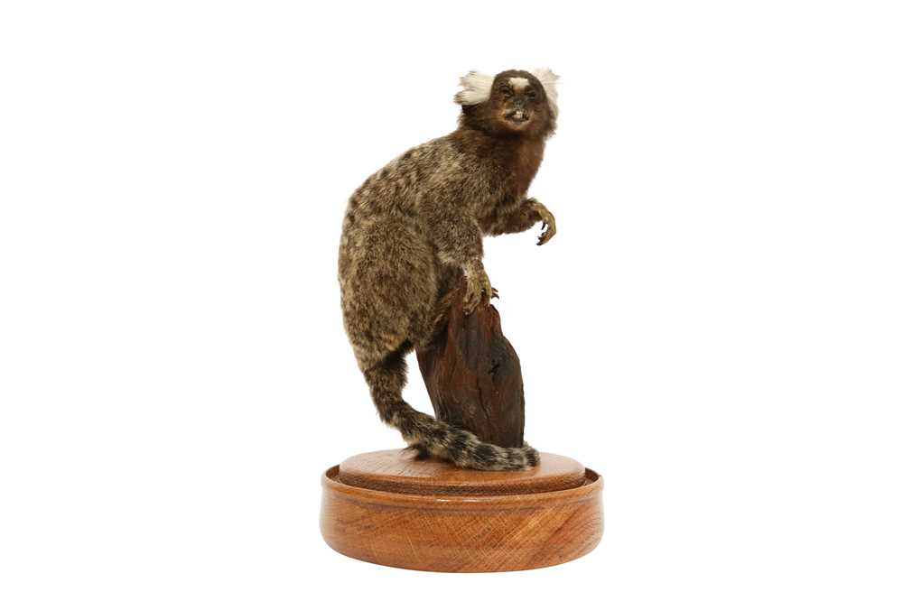 TAXIDERMY: COMMON MARMOSET MONKEY( CALLITHRIX JACCHUS) IN GLASS DOME