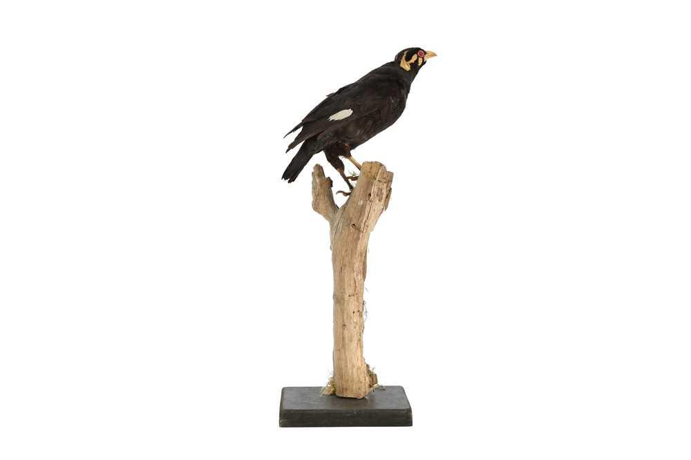 A VICTORIAN TAXIDERMY HILL MYNAH BIRD - Image 2 of 4