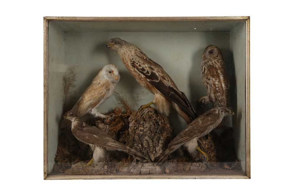 A VICTORIAN TAXIDERMY CASE CONTAINING A RED KITE, BARN OWL, TAWNY OWL AND TWO SPARROW HAWKS