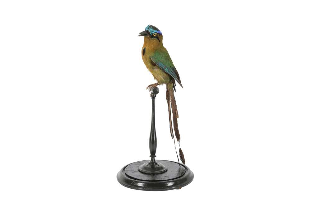 A VICTORIAN TAXIDERMY AMAZONIAN MOT MOT IN DOME - Image 2 of 5