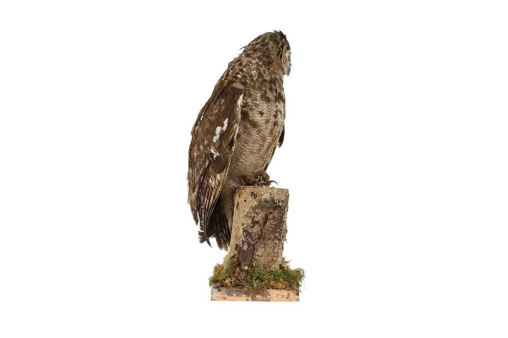 A TAXIDERMY MAGELLAN EAGLE OWL - Image 2 of 4