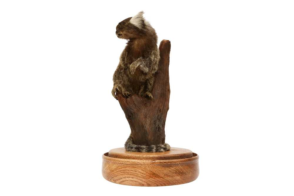 TAXIDERMY: COMMON MARMOSET MONKEY( CALLITHRIX JACCHUS) IN GLASS DOME - Image 2 of 5