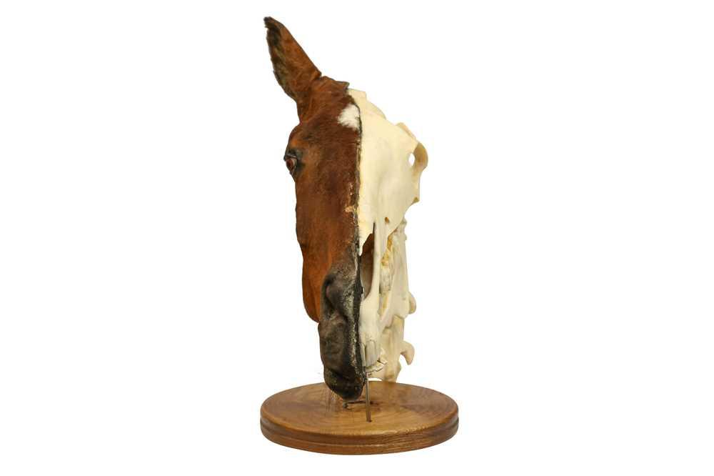 TAXIDERMY: A UNIQUE COMPARATIVE ANATOMY HORSE HEAD - Image 2 of 3