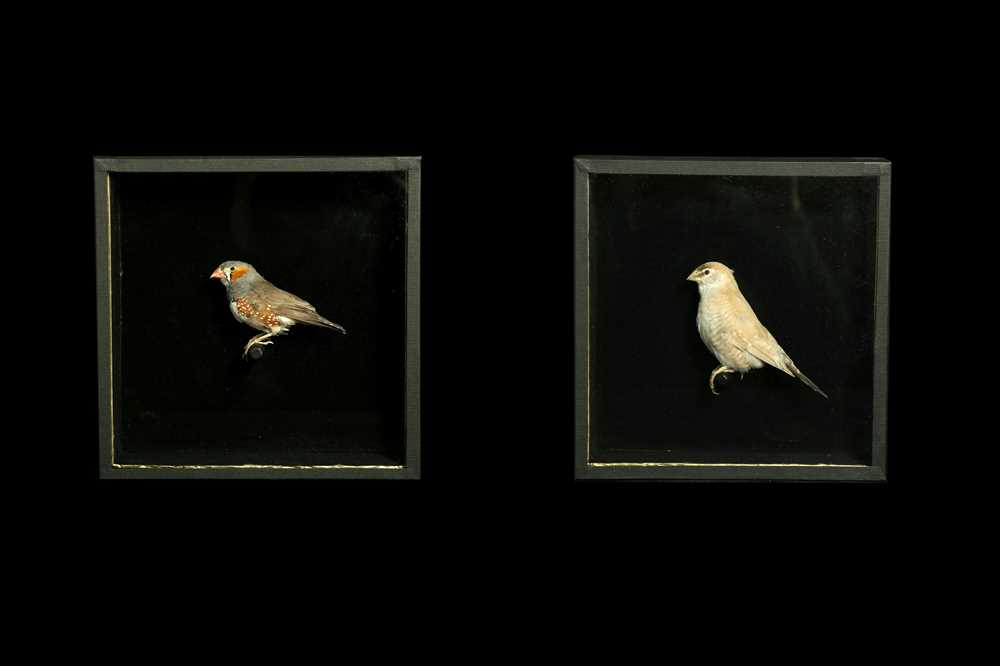 A SET OF FOUR TAXIDERMY CUT-THROAT FINCHES (AMADINA FASCIATA) IN CASES