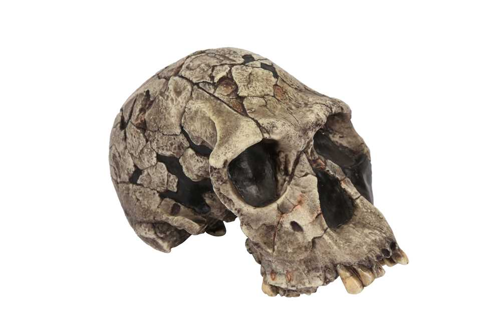 A REPLICA OF THE SKULL OF THE OLDEST HUMAN SPECIES, HOMO HABILIS