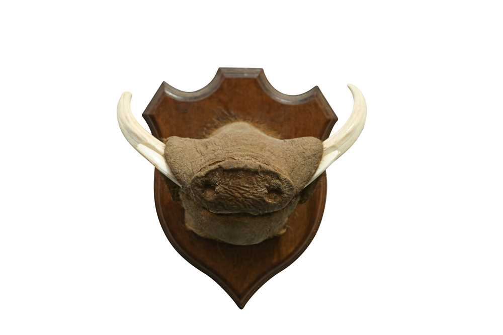 TAXIDERMY: AN UNUSUAL WARTHOG SNOUT WITH TASKS - Image 4 of 4