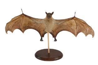 A TAXIDERMY FRUIT BAT (PTEROPODIDAE)