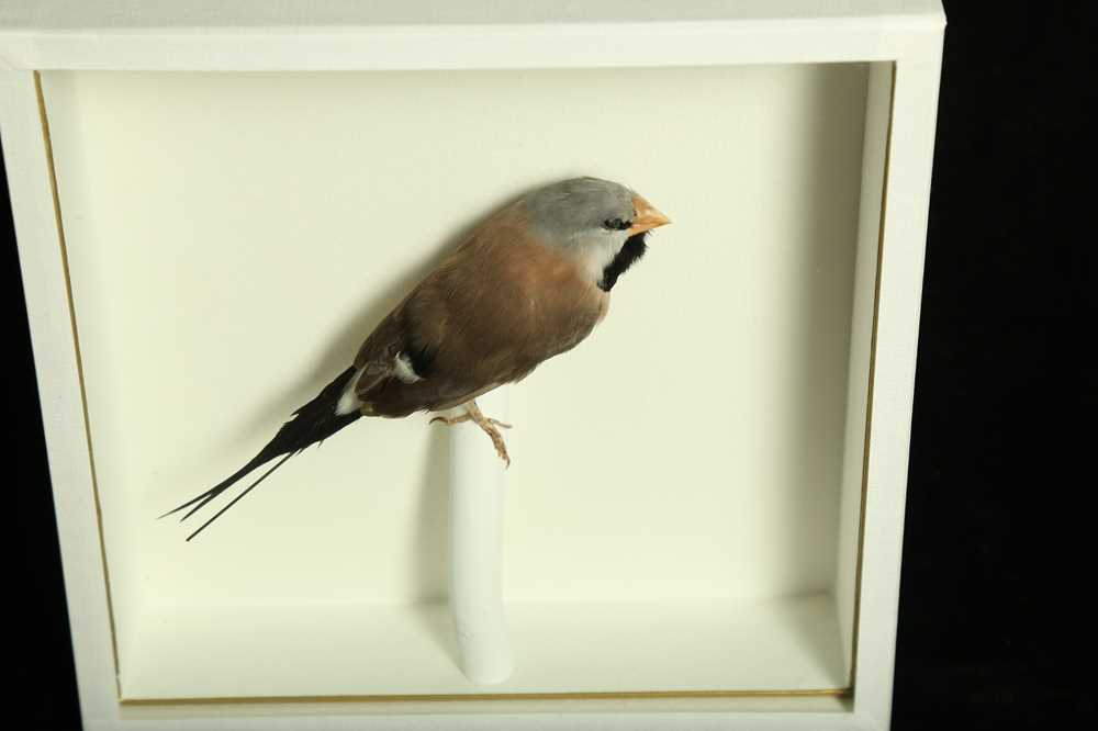 TWO TAXIDERMY TROPICAL FINCHES IN CASES - Image 2 of 4