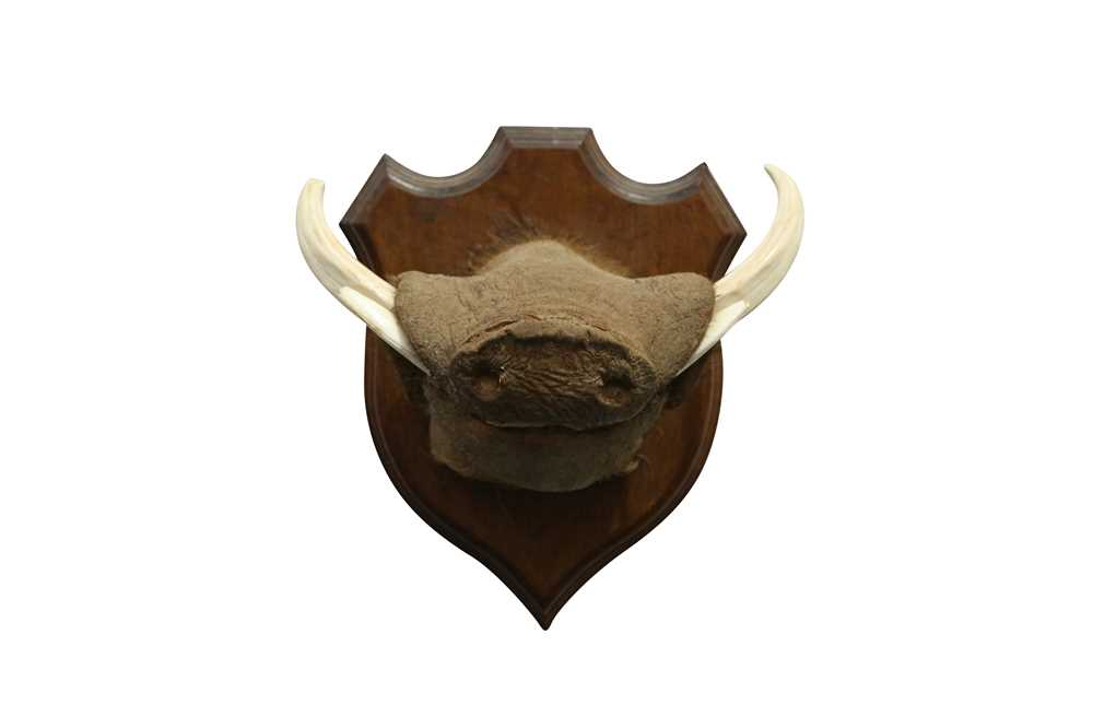 TAXIDERMY: AN UNUSUAL WARTHOG SNOUT WITH TASKS
