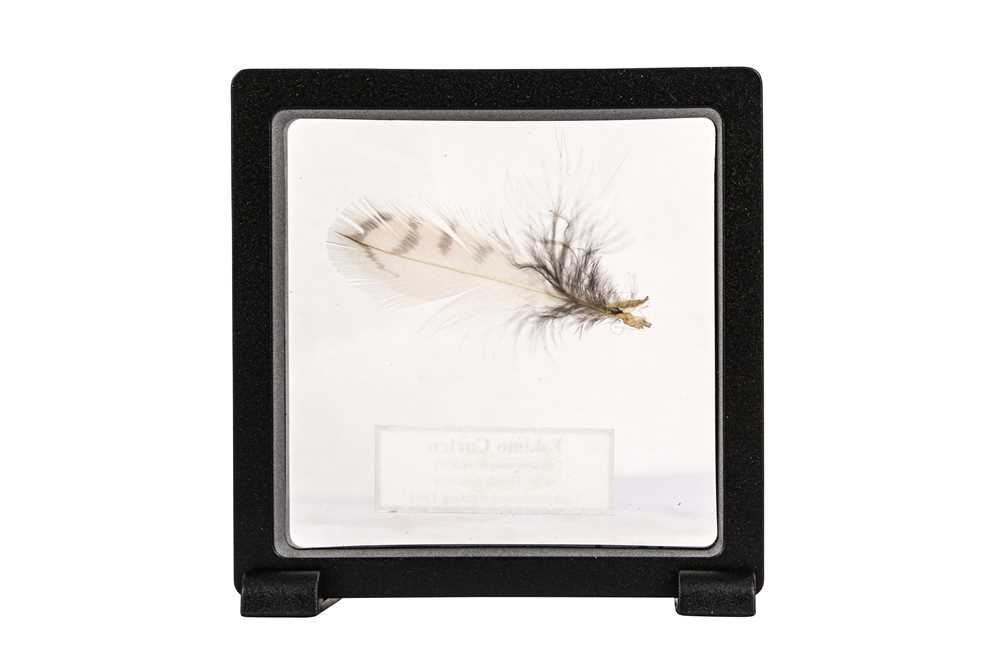 A FEATHER OF THE EXTINCT ESKIMO CURLEW - Image 2 of 2