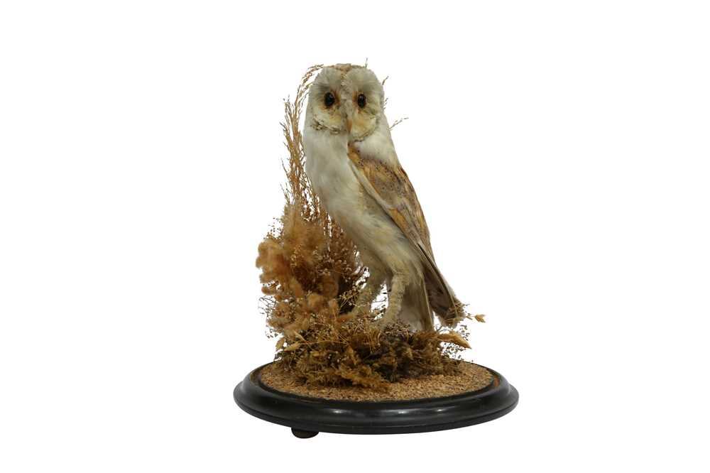 TAXIDERMY: A VICTORIAN BARN OWL IN GLASS DOME
