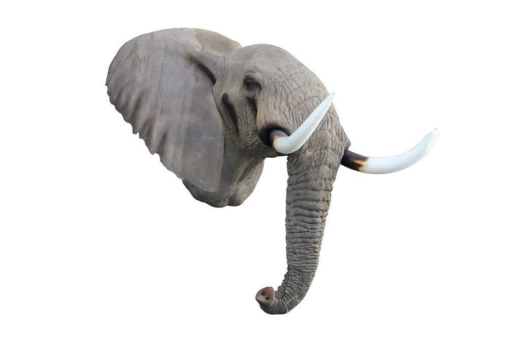 TAXIDERMY INTEREST: A FINE LIFESIZE FIBREGLASS MODEL OF AN AFRICAN BULL ELEPHANT HEAD BY NICO VAN RO - Image 2 of 3