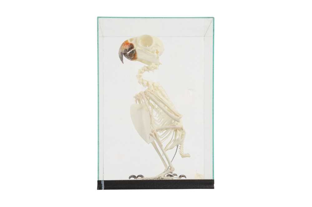 THE SKELETON OF AN AMAZON PARROT IN A GLASS CASE - Image 4 of 5