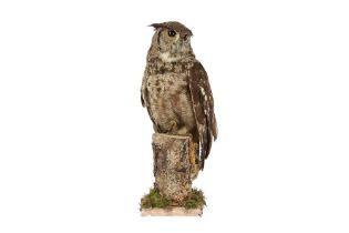 A TAXIDERMY MAGELLAN EAGLE OWL