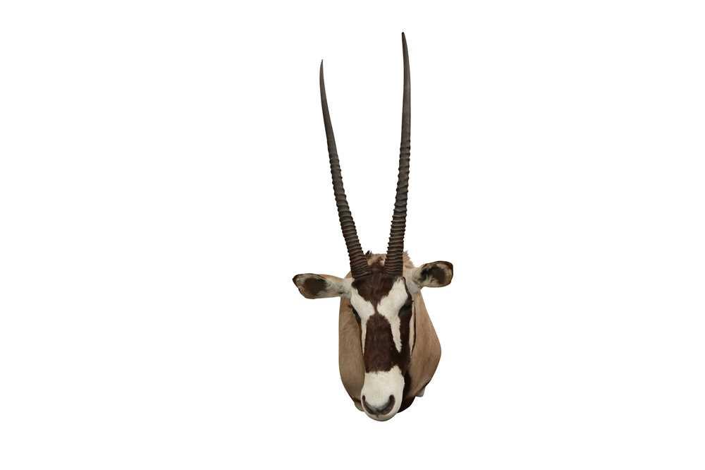 TAXIDERMY: SOUTH AFRICAN GEMSBOK ORYX ANTELOPE (ORYX GAZELLA) - Image 2 of 2