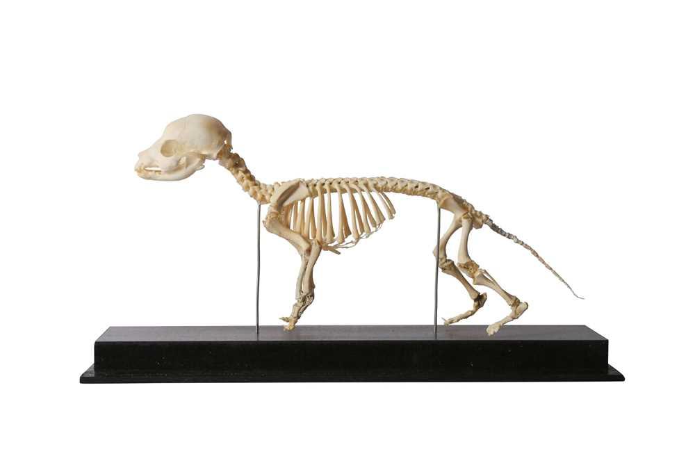 OSTEOLOGY: GREYHOUND PUPPY SKELETON