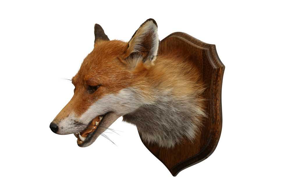 TAXIDERMY: RED FOX ( VULPES VULPES) HEAD ON OAK SHIELD - Image 2 of 3