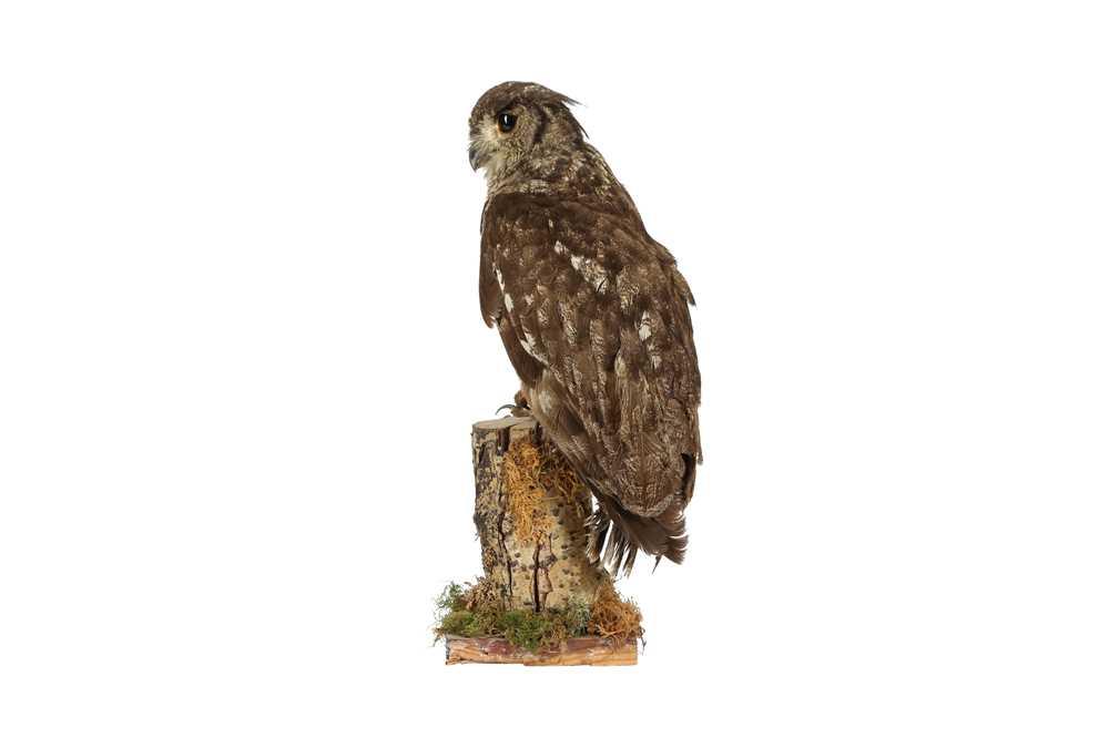 A TAXIDERMY MAGELLAN EAGLE OWL - Image 4 of 4