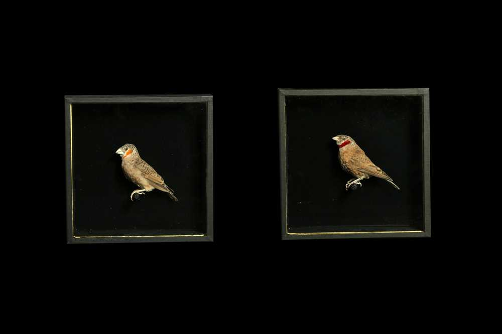 A SET OF FOUR TAXIDERMY CUT-THROAT FINCHES (AMADINA FASCIATA) IN CASES - Image 3 of 4