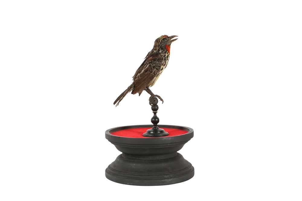 A VICTORIAN TAXIDERMY BLACK SPOTTED BARBET - Image 4 of 5